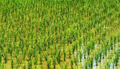 ممنوعیت کشت برنج به مصوبه مجلس نیاز دارد