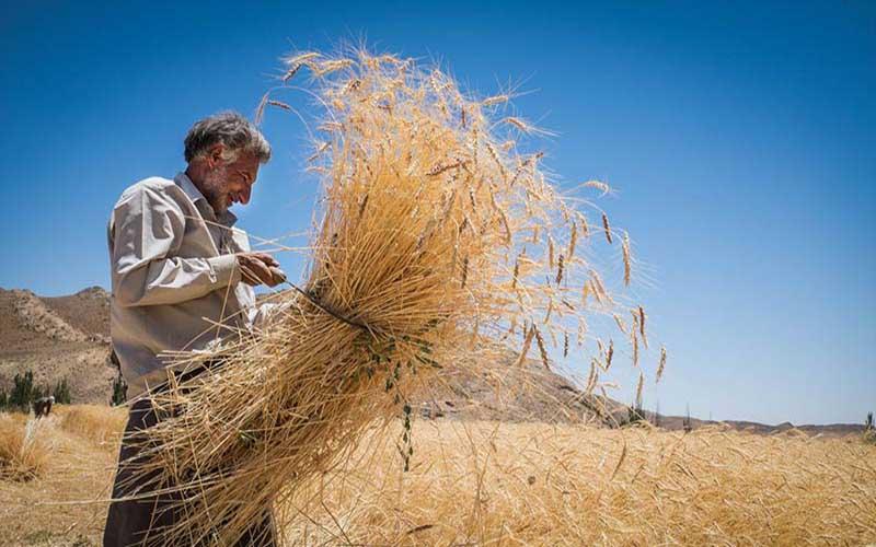 دلال ها زودتر از گندمها به مزارع رسیدند/ ترش رویی گندمکاران به خرید تضمینی ,راز و جرگلان، مشکلات گندم کاران، خرید تضمینی گندم
