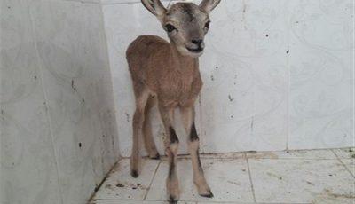 عامل زندهگیری یک برهمیش وحشی در فاروج دستگیر شد