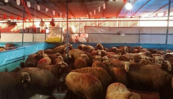 گوشت ارزان میشود/ کاهش قیمت دام زنده