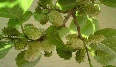 درخت توت در اغلب خاکهای کشور قابل کشت است