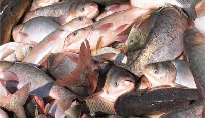 افزایش صادرات ماهیان پرورشی گیلان به عراق