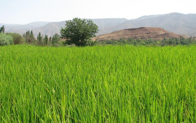 آغاز کنترل بیولوژیک آفت ساقهخوار برنج در گیلان