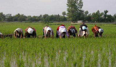 کشت برنج به غیر از شمال کشور ممنوع است