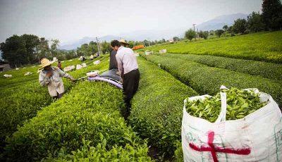افزایش ۵ درصدی تولید چای در کشور