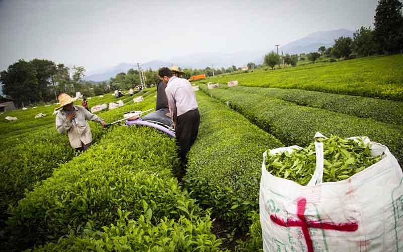 افزایش 20 درصدی تولید برگ سبز چای