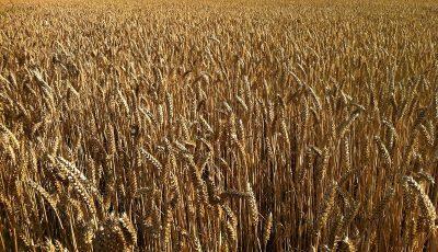 فهرست بزرگترین صادرکنندگان گندم در سال 2017