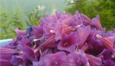 گل گاو زبان، گیاه آرامبخش؛ کیلویی ۴۰۰ هزار تومان