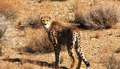 سمنان بهترین زیستگاه یوزپلنگ آسیایی در کشور است