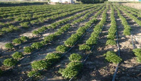 طرح کشت گیاهان دارویی در حوضه دریاچه ارومیه اجرا میشود