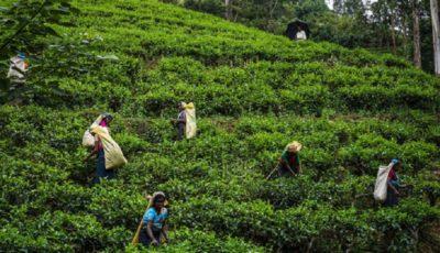 یک چهارم چای مصرفی کشور تولید داخل است
