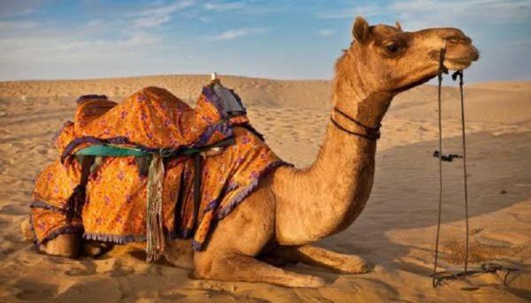 ورود شترهای قطری به مراتع ایران کذب است