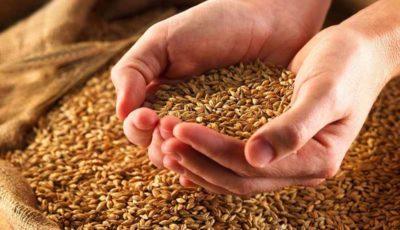 تولید ۱۰۰ درصدی بذر گندم و جو در ایران
