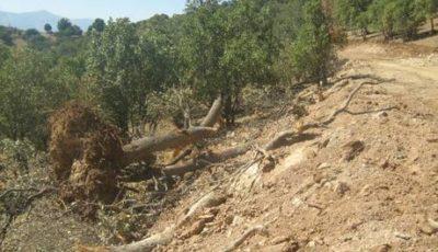 ۲۵ درصد جنگلهای لرستان به بیماری زوال بلوط مبتلا هستند