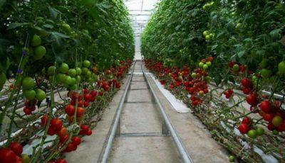 پیشبینی تولید ۲.۲ میلیون تن محصولات گلخانهای