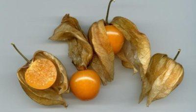 تولید و پرورش میوههای جدید در شهرستان بوشهر گسترش مییابد