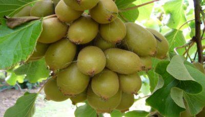 صادرات کیوی همه ساله از ۱۵ تیر تا ۱۵ مهر ممنوع است
