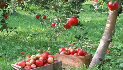 پیشبینی کاهش ۵۰۰ هزار تنی تولید سیب در سال ۹۷