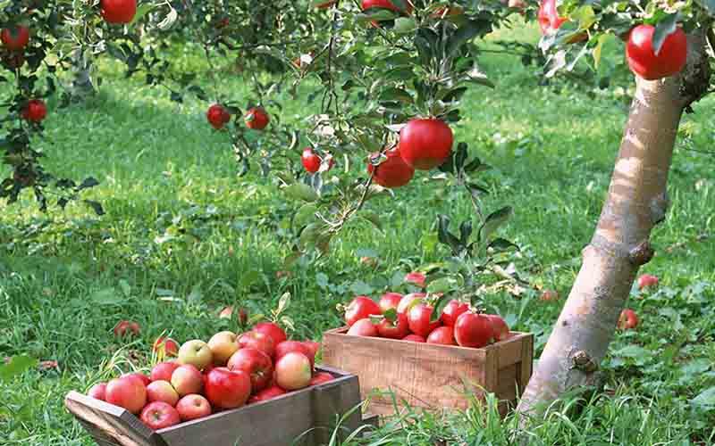 مشتریان تازه برای سیب ایرانی