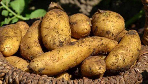 سیبزمینی یک ماه دیگر ارزان میشود