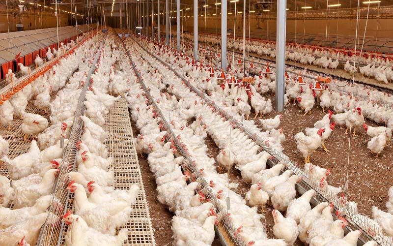 تورم ۷۹ درصدی محصولات مرغداریهای صنعتی کشور