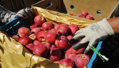 ذخیرهسازی ۳۰ هزار تن سیب درختی برای شب عید