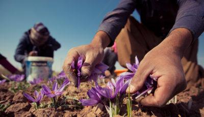 کاهش ۲۰ درصدی قیمت زعفران همزمان با آغاز برداشت