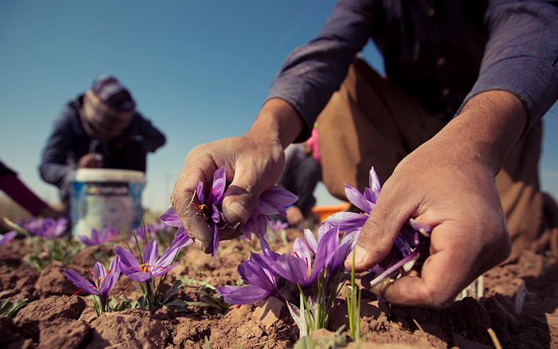 نرخ خرید توافقی زعفران ۱۰ درصد بالاتر از بازار