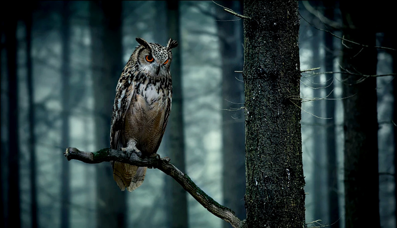 جغد جنگل احترام