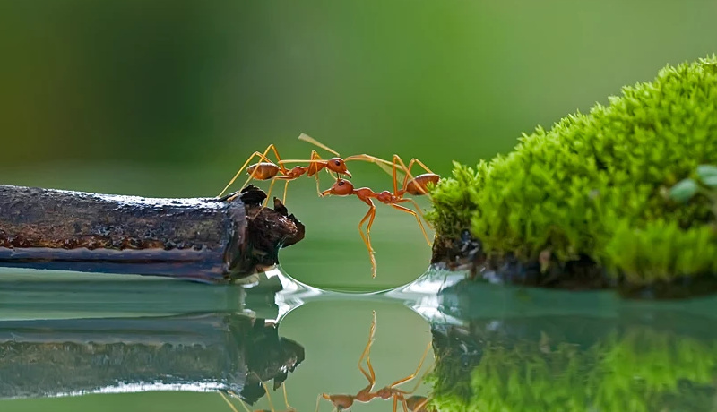 دو مورچه کار تیمی