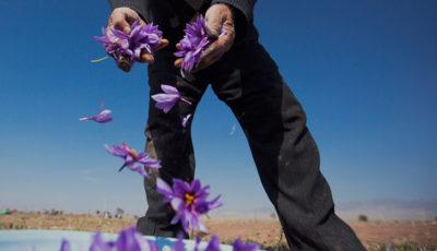 پیشبینی رشد ۳۰ درصدی تولید زعفران در سال جاری