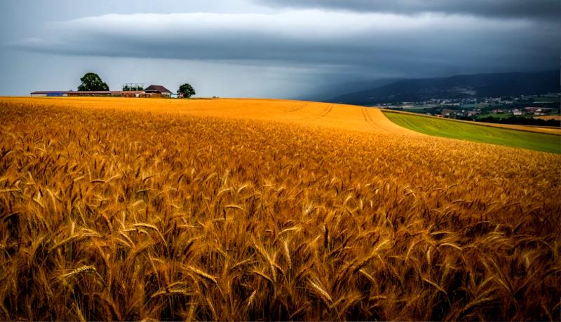 مزرعه گندم سوئیس