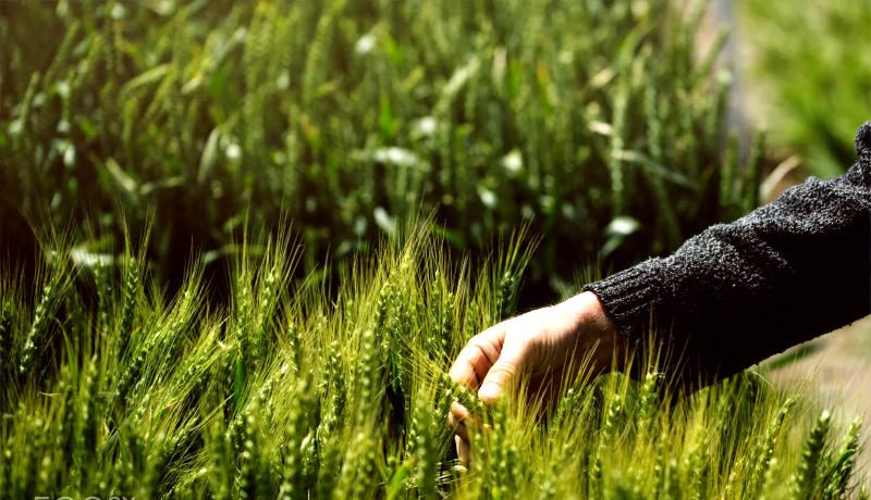 مزرعه گندم
