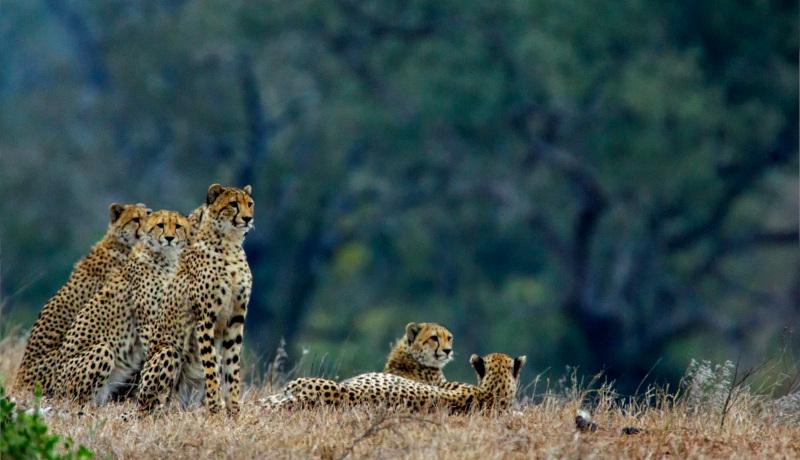 چند یوزپلنگ چیتا