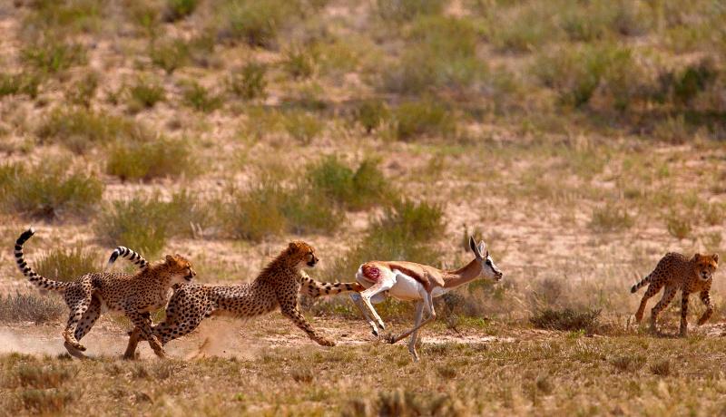 یوزپلنگ شکار آهو
