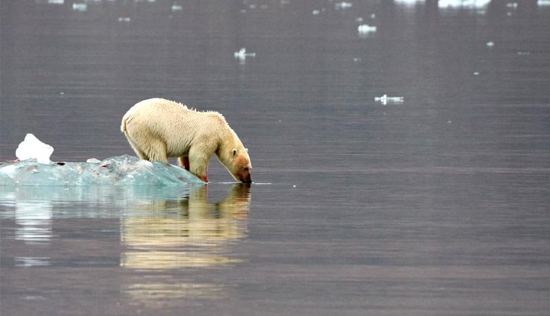 خرس قطبی آب میخورد
