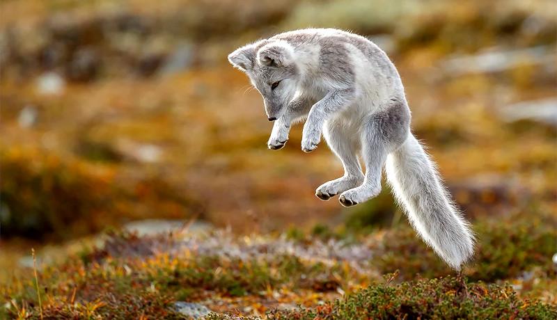 روباه قطبی در حال جهش