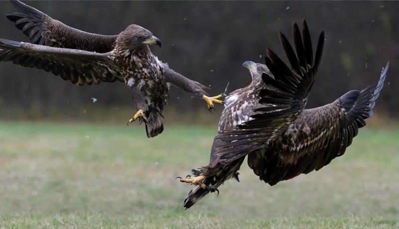 دو عقاب در حال مبارزه