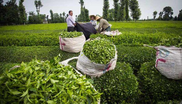 تولید ۲۸۰۰۰ تن چای خشک در امسال