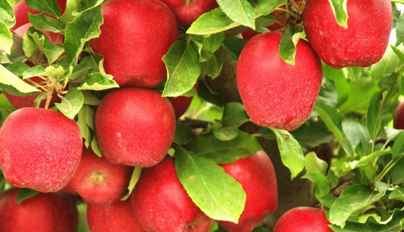 بزرگترین تاجران سیب / کدام کشورها بیشترین سیب را خریدوفروش میکنند؟