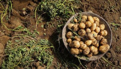 آغاز فصل برداشت سیب زمینی همدان(گزارش تصویری)