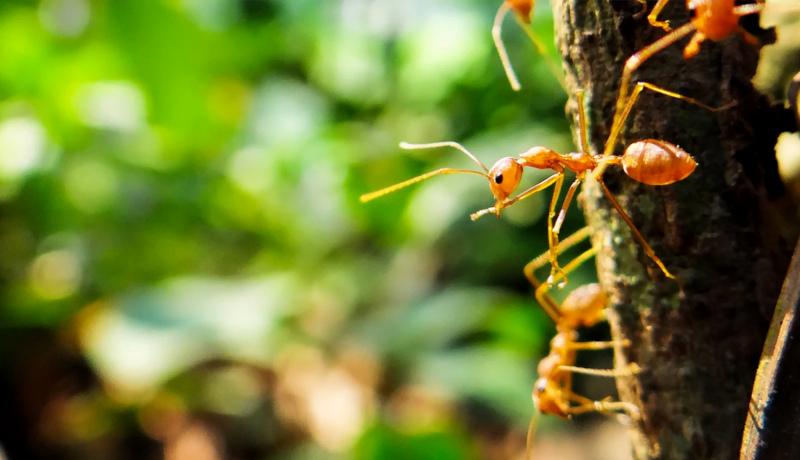 مورچههای ارتش Army ants