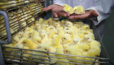 ۲ برابر شدن قیمت جوجه یک روزه / آیا قیمت مرغ گران میشود؟