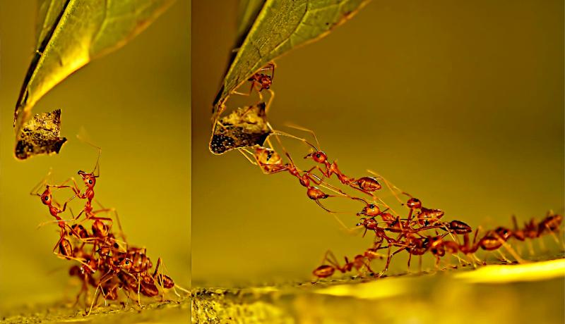 کلونی مورچهها