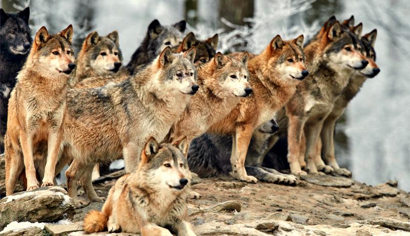 گله گرگ
