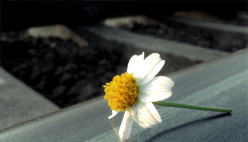 گل روی ریل قطار