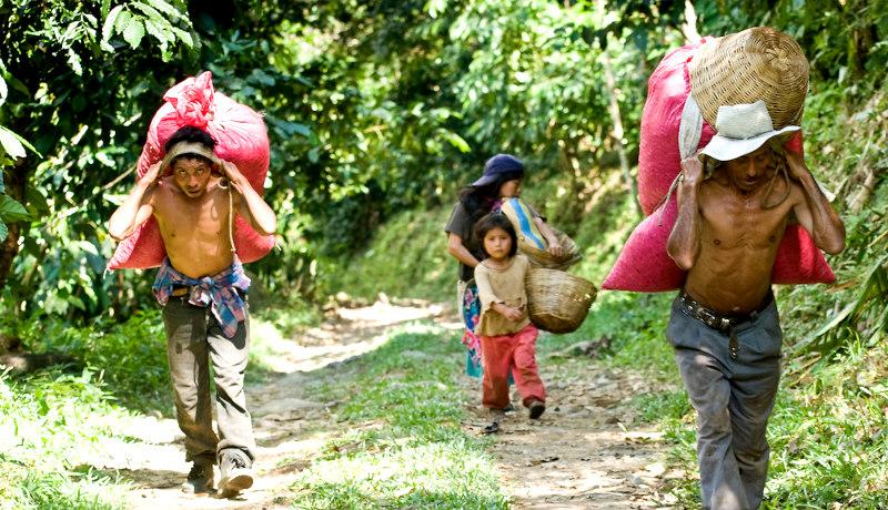 کارگران مکزیک تولید قهوه