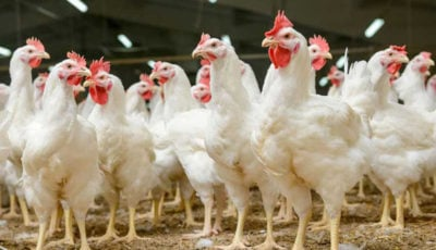 خوراندن تریاک و الکل و تزریق هورمون به مرغها واقعیت دارد؟