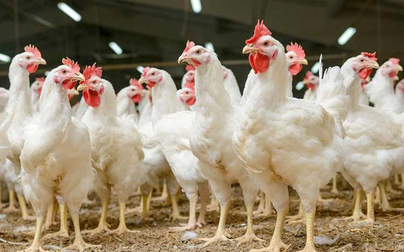 علت اصلی گرانی مرغ مشخص شد
