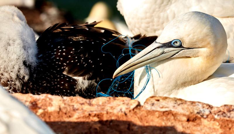 نخ پلاستیکی در دهان مرغ دریایی